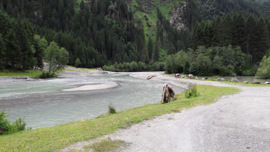 freilaufende Kuh in den Alpen