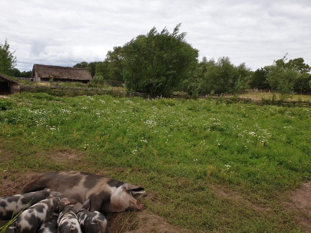 Schweinegehege Ripa